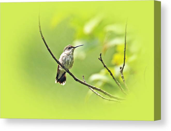 ruby-throated Hummingbird Canvas Print featuring the photograph Ruby-throated Hummingbird - Immature Female - Archilochus Colubris by Mother Nature