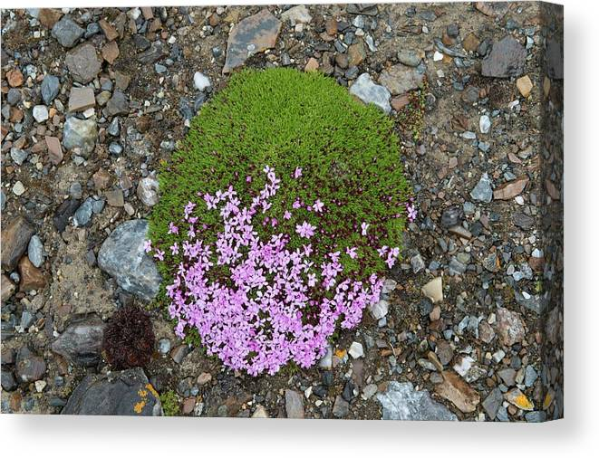 Nature Canvas Print featuring the photograph Saxifrage (saxifraga Oppositifolia) by Dr P. Marazzi/science Photo Library