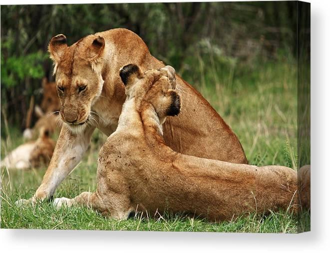 Lion Canvas Print featuring the photograph Sociable Lions  by Aidan Moran