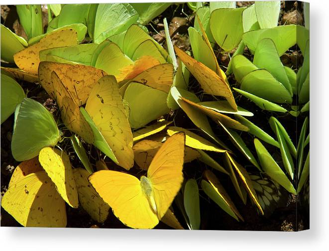 Amazon Canvas Print featuring the photograph Sulfur Butterflies On Mineral Lick by Pete Oxford
