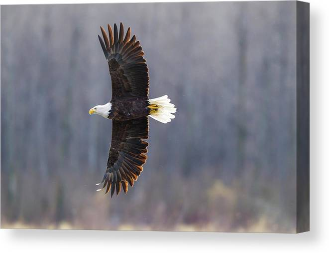 Adult Canvas Print featuring the photograph Usa, Alaska, Chilkat Bald Eagle Preserve by Jaynes Gallery