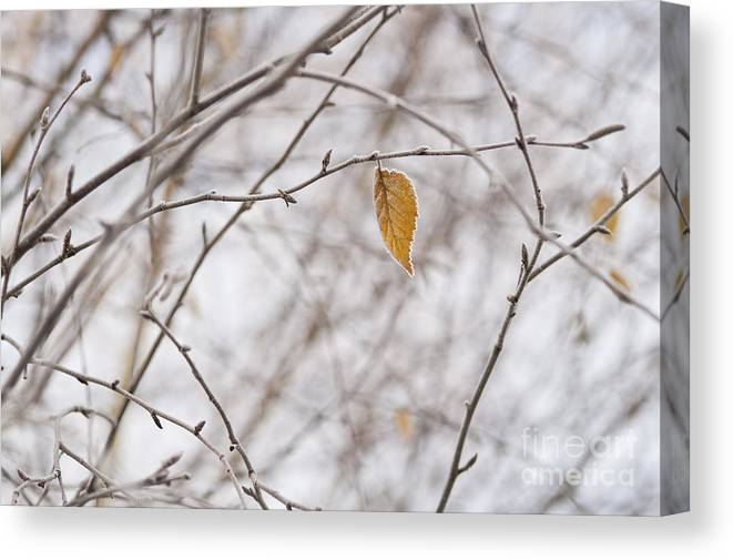 Pacific Northwest Canvas Print featuring the photograph Autumn Leaf by Jim Corwin