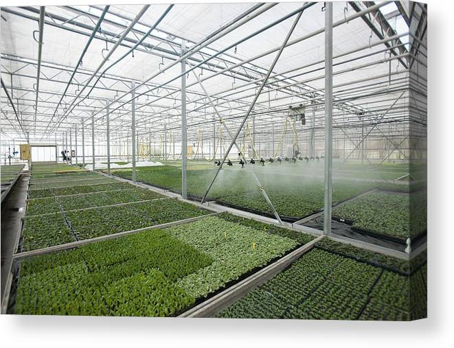 Nobody Canvas Print featuring the photograph Bedding Plant Production by Lewis Houghton/science Photo Library