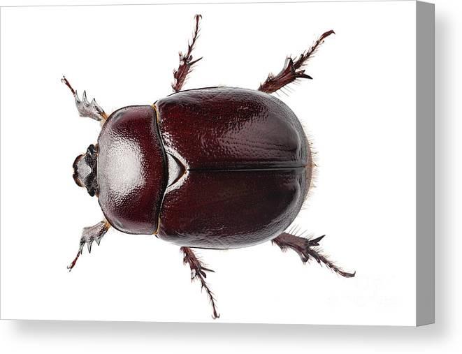 Animal Canvas Print featuring the photograph European Rhinoceros Beetle Female by Pablo Romero