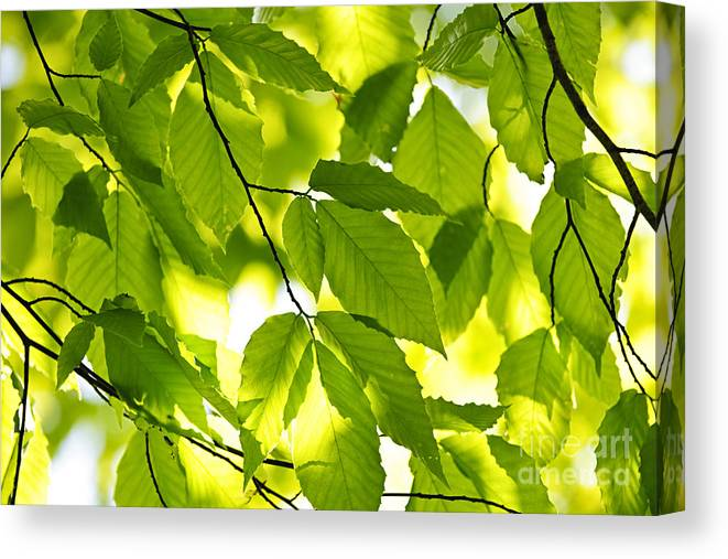 Green Canvas Print featuring the photograph Green Spring Leaves by Elena Elisseeva