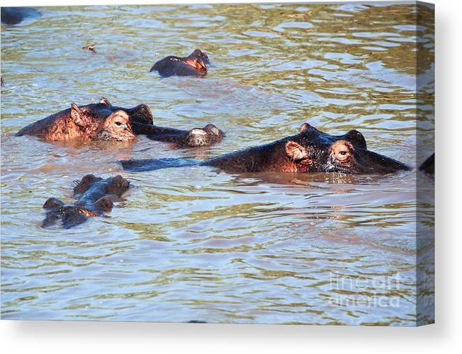 Hippo Canvas Print featuring the photograph Hippopotamus Group In River. Serengeti. Tanzania. by Michal Bednarek