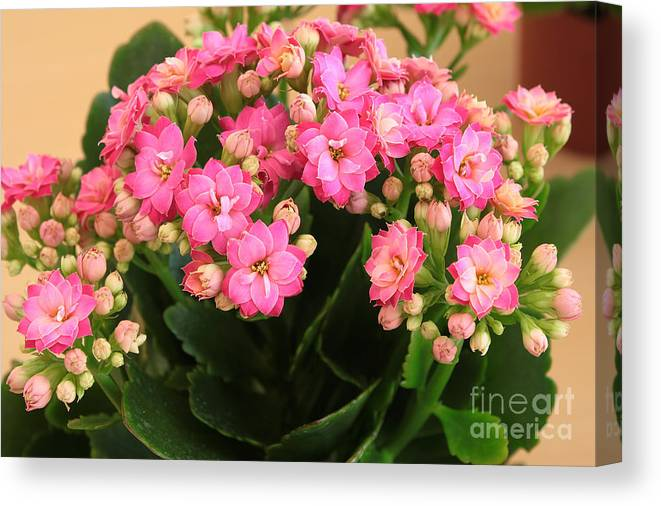Green Canvas Print featuring the photograph Kalanchoe. by Alexandr Malyshev