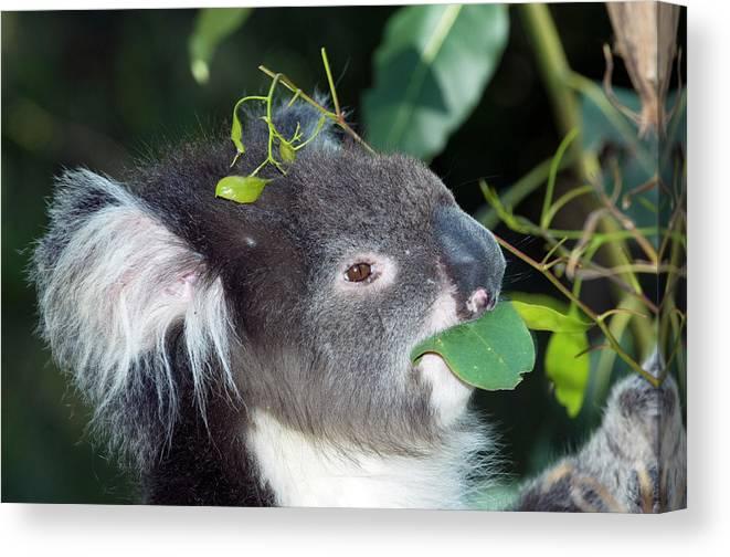 Phascolarctos Cinereus Canvas Print featuring the photograph Koala by Tony Camacho/science Photo Library