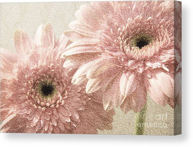Gerber Canvas Print featuring the photograph 2 Silver Pink Painterly Gerber Daisies by Andee Design