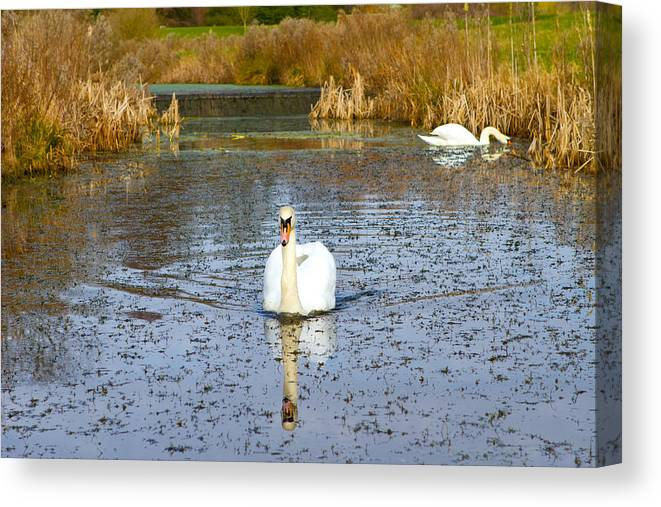 Animal Canvas Print featuring the photograph Swan In River In An English Countryside Scene On A Cold Winter by Fizzy Image