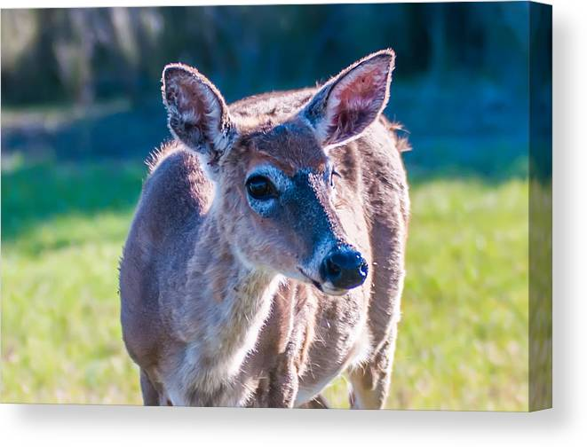 White Canvas Print featuring the photograph White Tail Deer Bambi In The Wild by Alex Grichenko