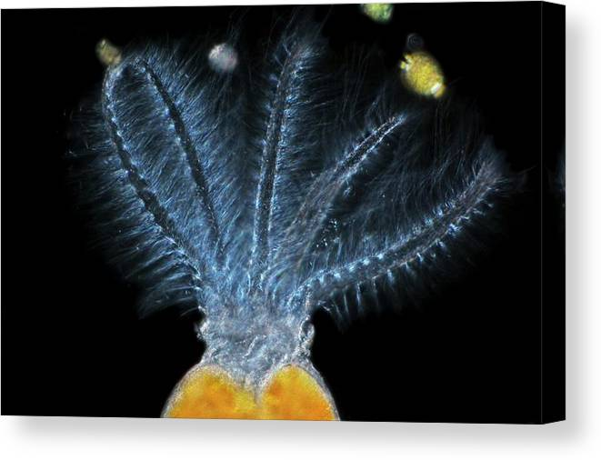 Black Background Canvas Print featuring the photograph Stephanoceros Fimbriatus Rotifer by Frank Fox/science Photo Library