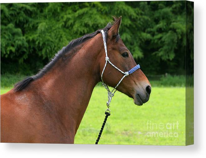 Bay Horse Canvas Print featuring the photograph Horse Portrait by Angel Ciesniarska