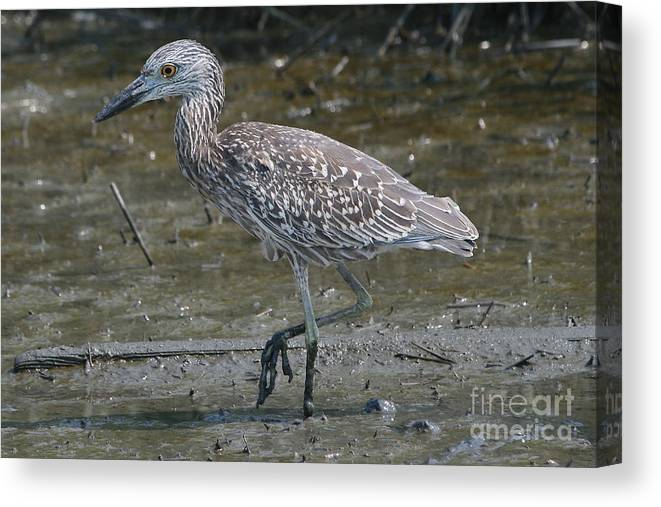 Juvenile Canvas Print featuring the photograph Yellow -crowned Night Heron by Ken Keener