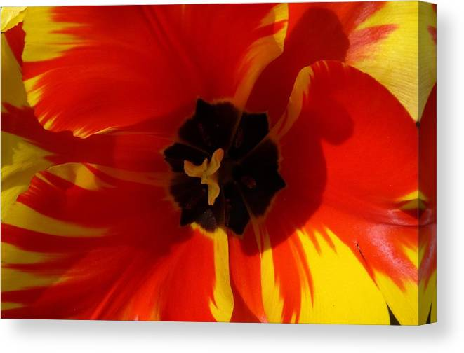 Flower Canvas Print featuring the photograph Tulip by FL collection