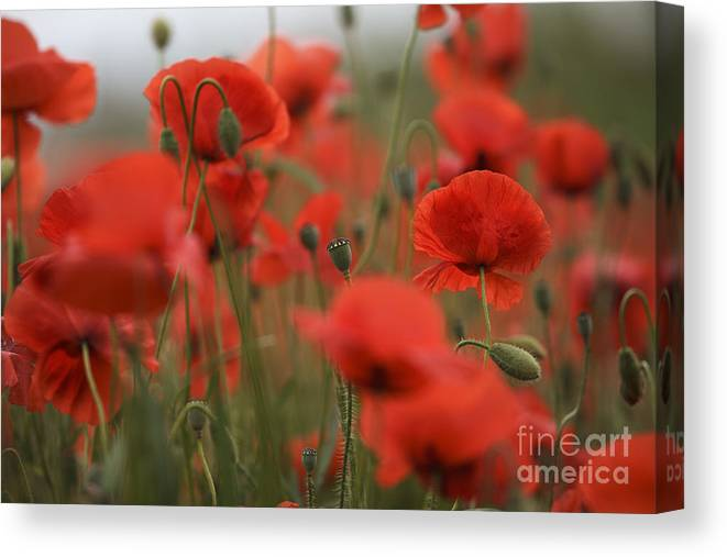 Poppy Canvas Print featuring the photograph Red by Nailia Schwarz