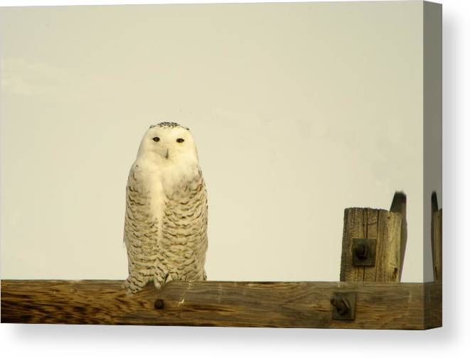 Birds Canvas Print featuring the photograph A Lone Artic Owl by Jeff Swan