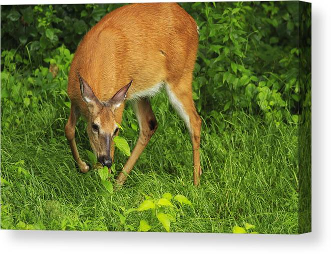Deer Canvas Print featuring the photograph A Taste Of Nature by Karol Livote