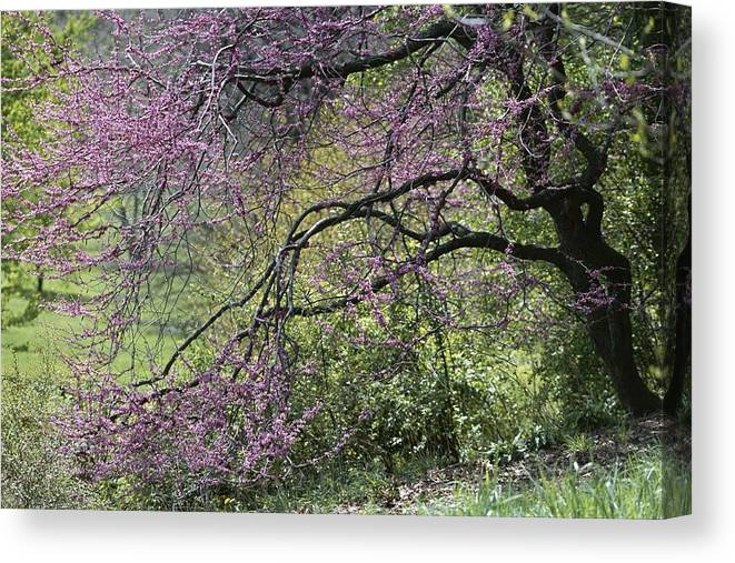 Day Canvas Print featuring the photograph A View Of A Blooming Redbud Tree by Darlyne A. Murawski