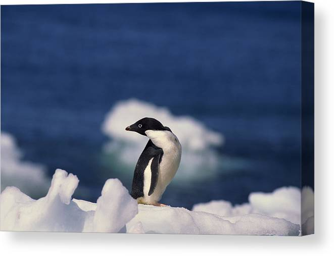 Looking Over Shoulder Canvas Print featuring the photograph Adelie Penguin , Antarctica by Comstock Images