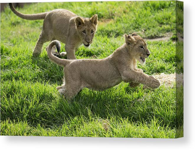 African Lion Cubs Playing Canvas Print Canvas Art By San Diego Zoo