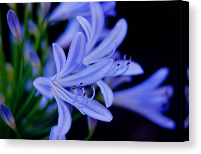 Agapanthus Canvas Print featuring the photograph Agapanthus Blue by Vanessa Thomas