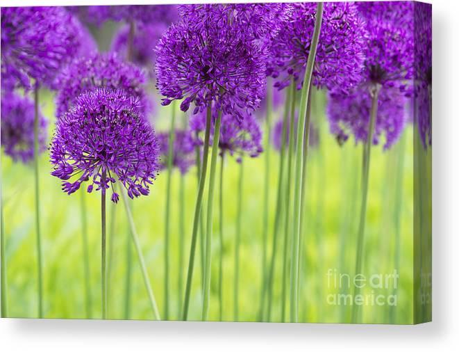 Allium Hollandicum Canvas Print featuring the photograph Allium Hollandicum Purple Sensation Flowers by Tim Gainey