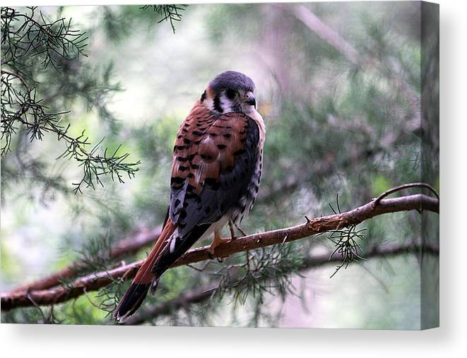 American Kestral Canvas Print featuring the photograph American Kestral by Elizabeth Winter