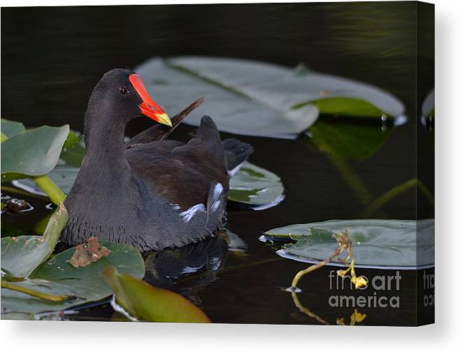 Moorhen Canvas Print featuring the photograph Among The Lilypads by Adam Stuckert