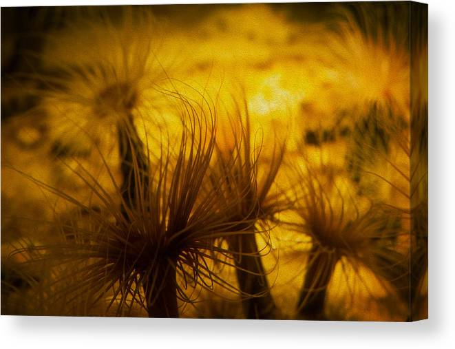 Sea Anemone Canvas Print featuring the photograph Anemone One by SFPhotoStore
