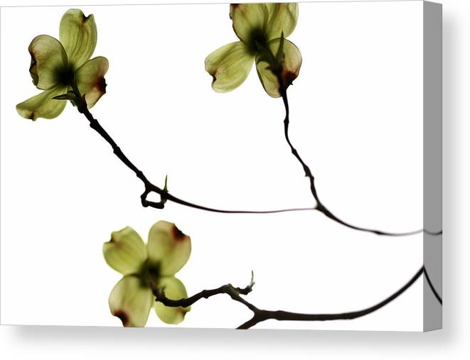 Nature Canvas Print featuring the photograph Apple Blossoms by Andrea Barnett