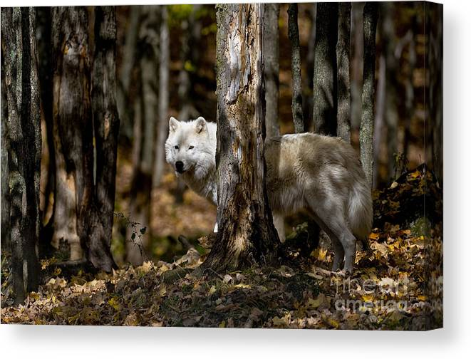 Arctic Wolf Canvas Print featuring the photograph Arctic Wolf Picture 242 by World Wildlife Photography