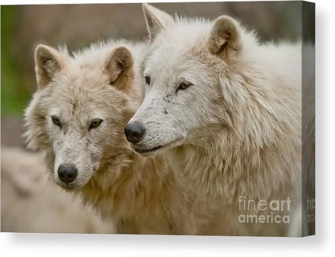 Arctic Wolf Canvas Print featuring the photograph Arctic Wolf Pictures 1174 by World Wildlife Photography
