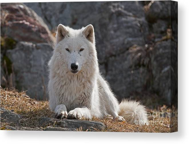 Arctic Wolf Greeting Cards Canvas Print featuring the photograph Arctic Wolf Pictures 518 by World Wildlife Photography