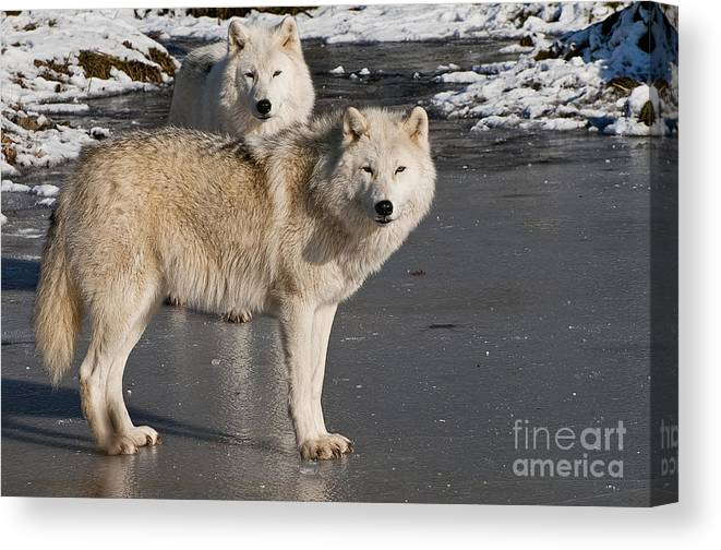 Arctic Wolf Canvas Print featuring the photograph Arctic Wolf Pictures 812 by World Wildlife Photography