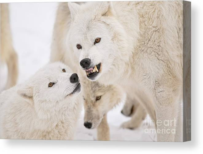 Arctic Wolf Canvas Print featuring the photograph Arctic Wolf Pictures 872 by World Wildlife Photography