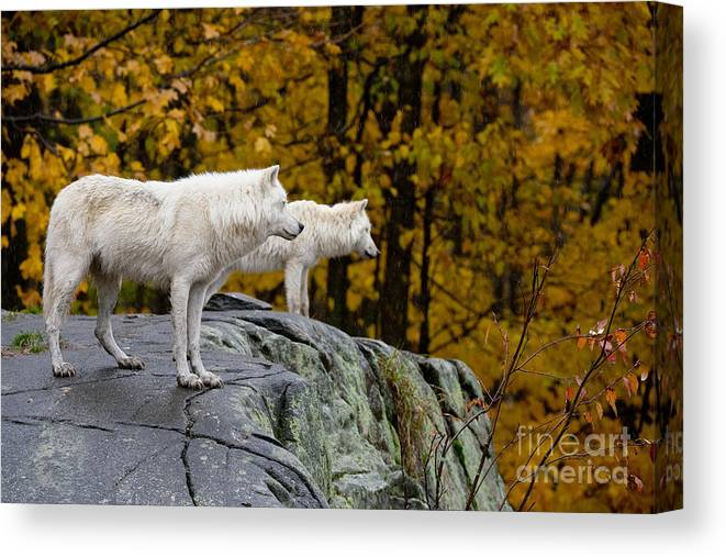 Arctic Wolf Canvas Print featuring the photograph Arctic Wolf Pictures 930 by World Wildlife Photography