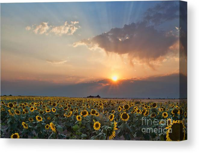 Flowers Canvas Print featuring the photograph August Dreams by Jim Garrison