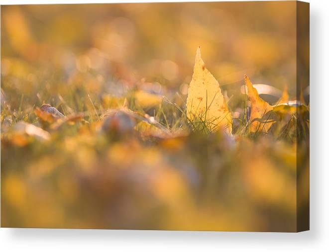 Ash Canvas Print featuring the photograph Autumn Ash Leaves by Bernard Lynch