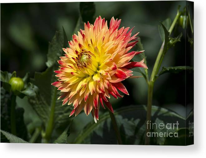 Dahlia Canvas Print featuring the photograph Awakening Dahlia by Dan Hefle