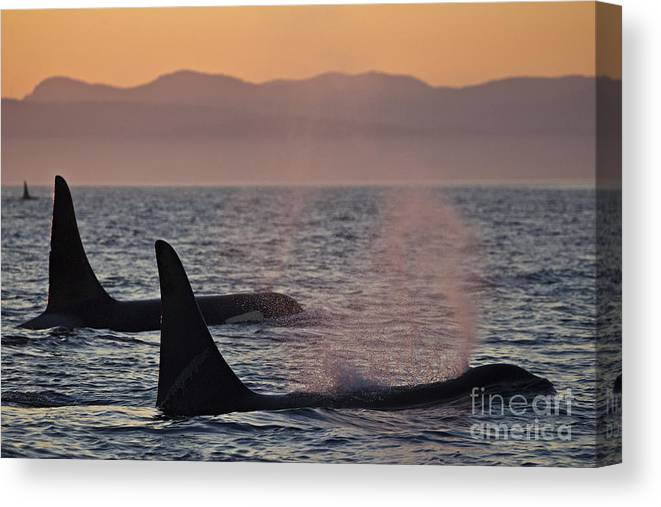 Orca Whale Canvas Print featuring the photograph Award Winning Photo Of Two Killer Whales At Sunset Dramatic Silhouette by Brandon Cole
