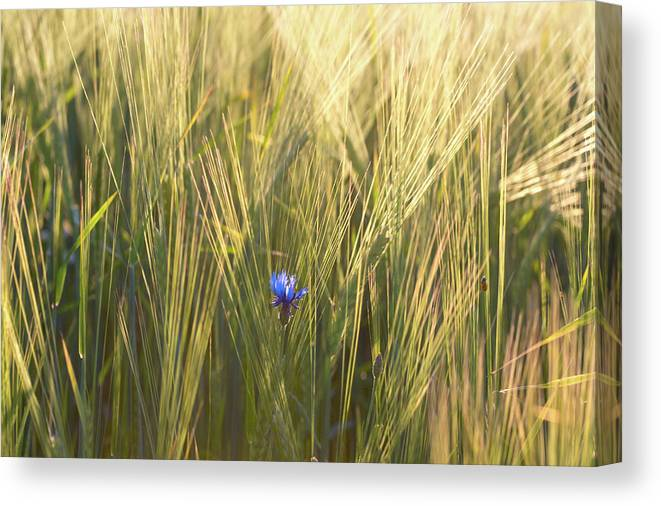 Photography Canvas Print featuring the photograph Barley And Corn Flowers In The Field by Panoramic Images
