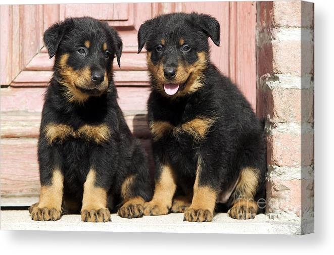 Beauceron Puppy Dogs Canvas Print Canvas Art By Jean Michel Labat