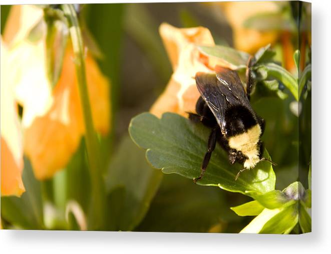 Yellow Canvas Print featuring the photograph Bee On Leaf by John Manuwal