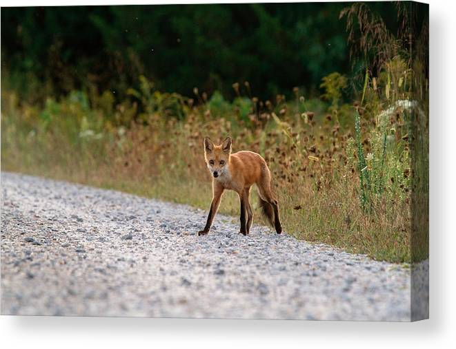 Red Fox Canvas Print featuring the photograph Being Stalked While Stalking by Chuck Homler