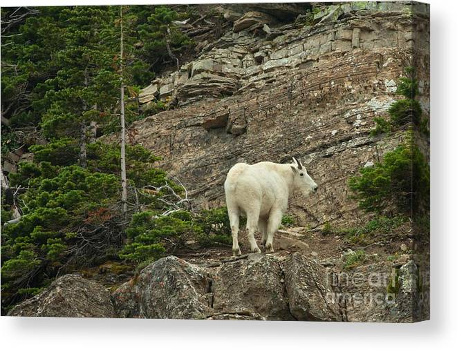 Billy Goat Canvas Print featuring the photograph Billy Goat 4 by Natural Focal Point Photography