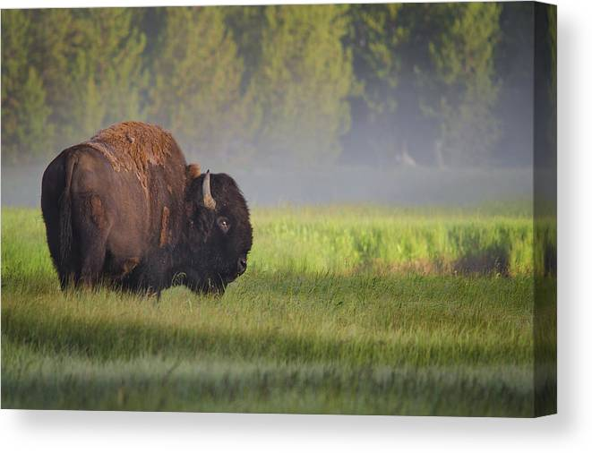 Bison Canvas Print featuring the photograph Bison In Morning Light by Sandipan Biswas