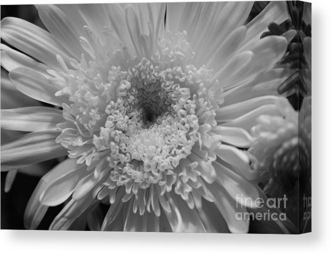 Chrysanthymum Canvas Print featuring the photograph Black And White Chrysanthymum by Cheryl Hurtak