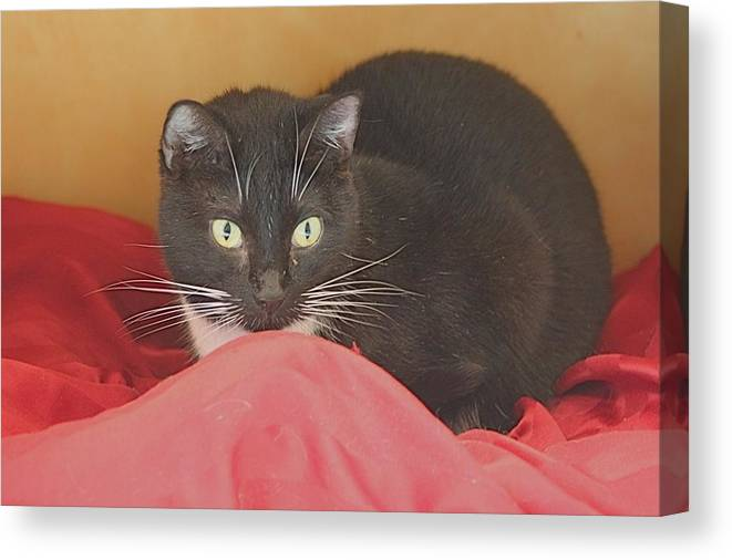 Cat Canvas Print featuring the photograph Black And White Kitty At Pet Helpers by Jeanne Kay Juhos