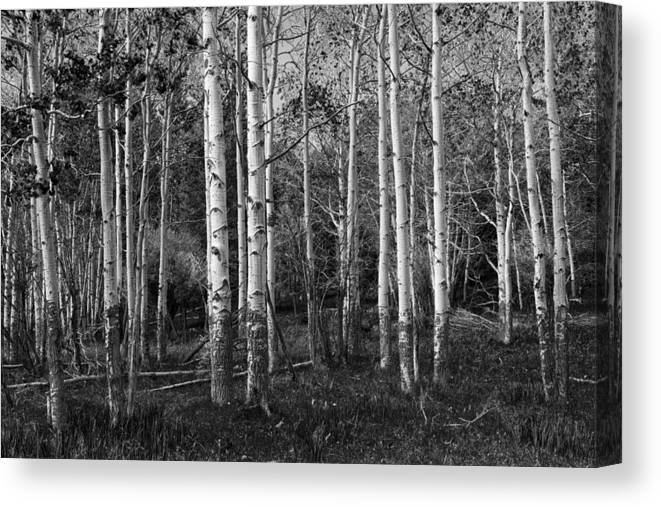 Art Canvas Print featuring the photograph Black And White Photograph Of Birch Trees No. 0126 by Randall Nyhof